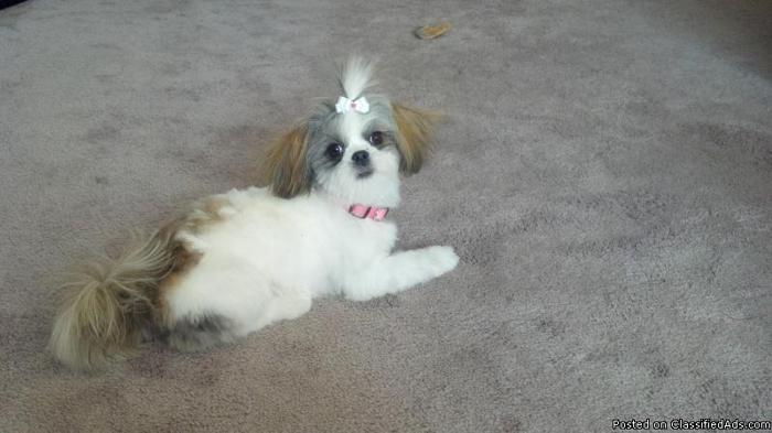 Beautiful 11 Month Female Shih Tzu For Sale In Rochester New York