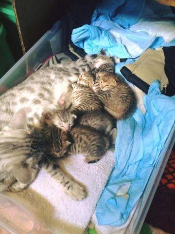 Beautiful 4 Week Old Bengal, Egyptian Mau, and Maine Coon ...