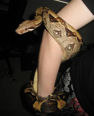 Beautiful 5-foot Colombian red-tail boa! (snake)