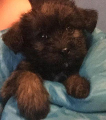 Beautiful 8 12 Week Old Yorkie Poo Puppy For Sale In Lake White