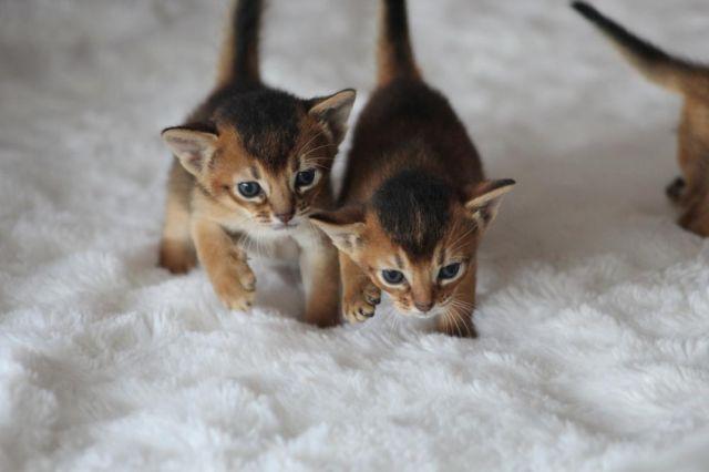 Abyssinian kittens for sale brooklyn