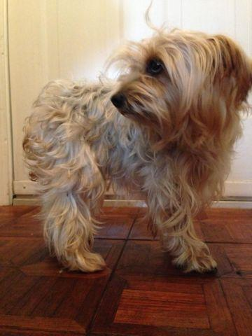 Adult Female Yorkie For Sale