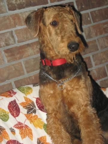 Beautiful Airedale Terrier Male 6 Month For Sale In