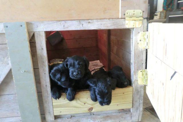 Beautiful AKC Black Giant Schnauzer Puppies
