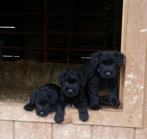 Beautiful AKC Black Giant Schnauzer Puppy
