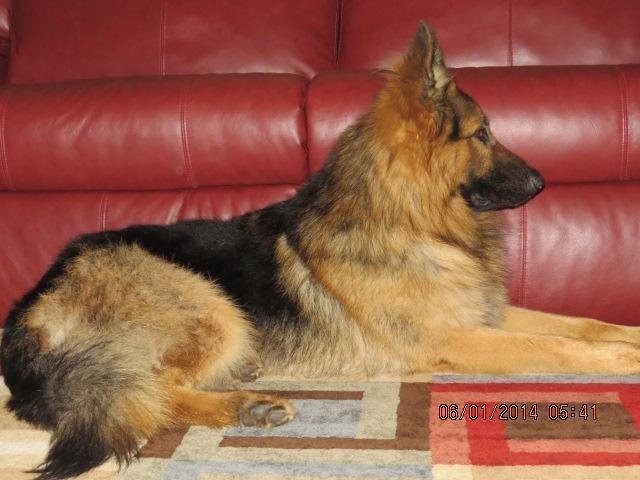 Beautiful AKC Black/Red, Long Hair German Shepherd Puppies For Sale!