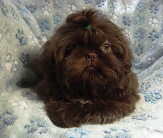 Beautiful Akc Chocolate Shih Tzu Puppy 14 Weeks For Sale