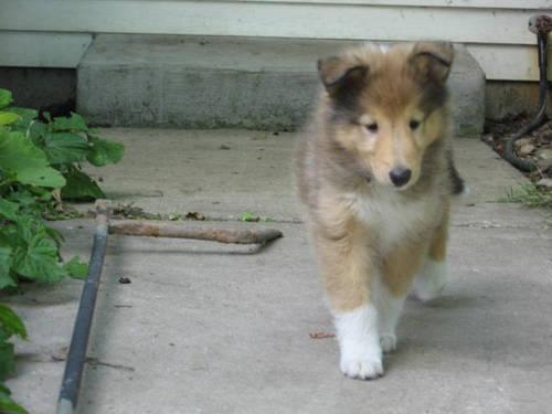 Beautiful AKC Collie puppies for sale