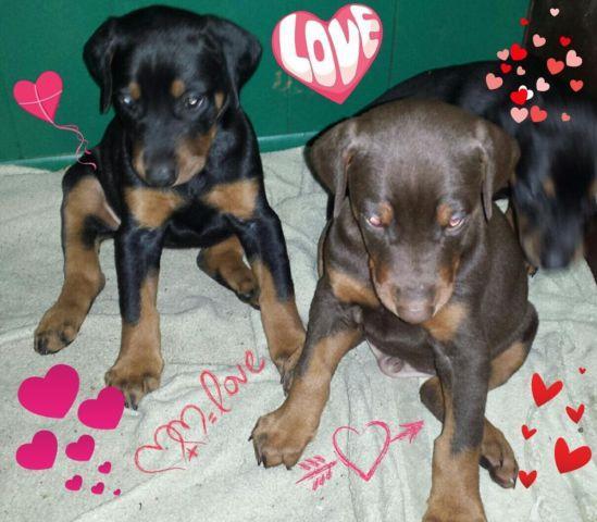 Beautiful AKC Doberman Valentine's Day Puppies!