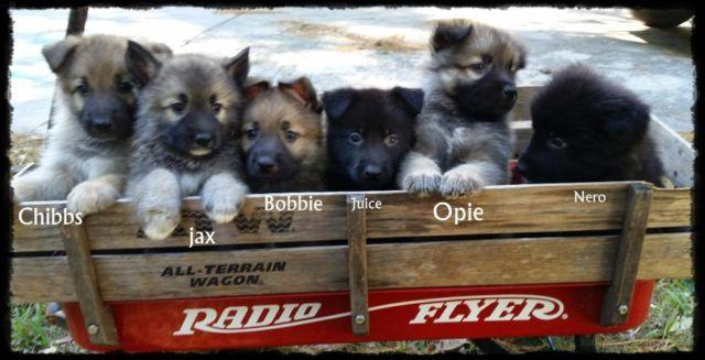 Beautiful AKC German Shepherd puppies