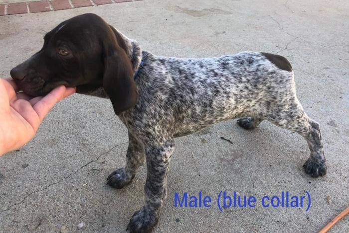 Male German Shorthaired Pointer Puppies For Sale