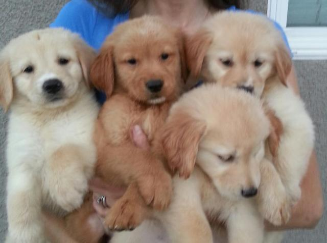 Beautiful Akc Golden Retriever Puppies For Sale In Lake