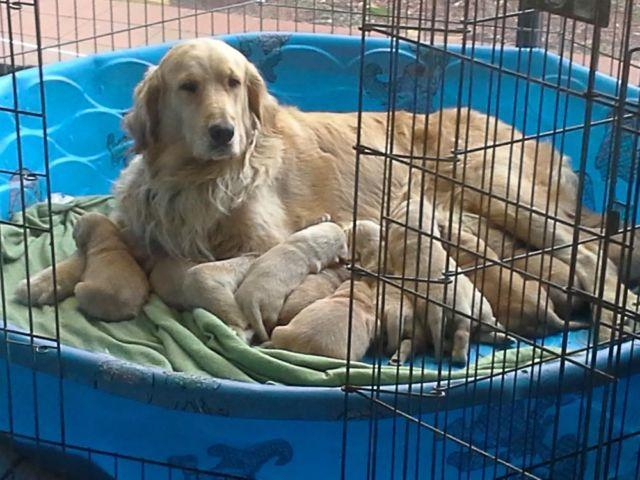 Beautiful AKC Golden Retriever puppies for sale for Sale in