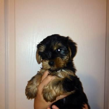 BEAUTIFUL AKC MALE YORKIE 12 weeks