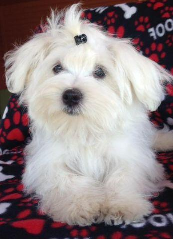 Beautiful Akc Maltese Puppies For