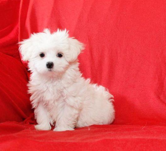Beautiful Akc Maltese Puppy 10 Weeks Old For Sale In Denver Colorado Classified