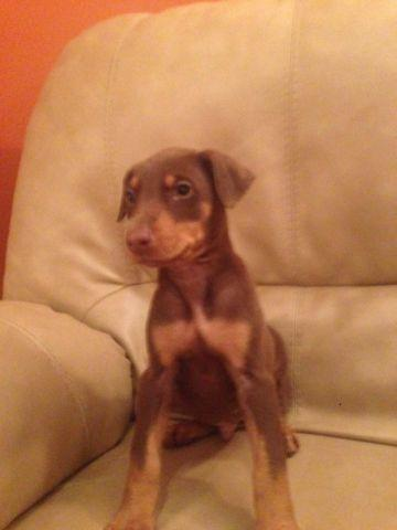 Beautiful Akc Red Rust Doberman Puppy For Sale In Vineland New