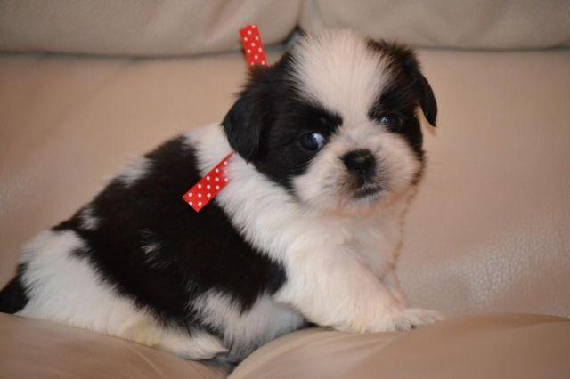 Beautiful Akc Shih Tzu Puppies For Sale In Waco Texas Classified