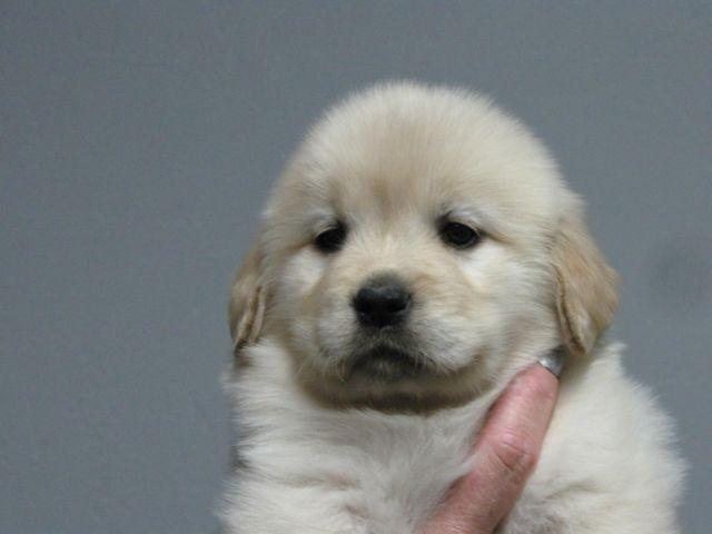 Beautiful AKC Show Quality Golden Retriever Puppy