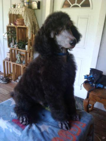 Beautiful Akc silver standard poodle boy 12 wks old