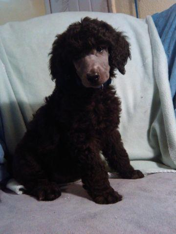beautiful akc standard poodle male silver. 8 wks old