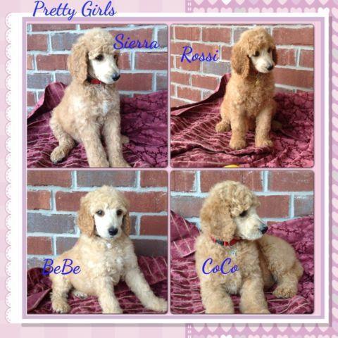 Beautiful AKC Standard Poodle Puppies