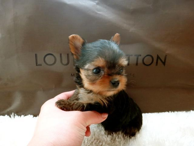 Beautiful Akc Tea Cup Yorkie For Sale In Los Angeles California