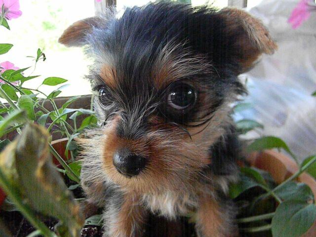 Beautiful AKC Teacup Female Yorkshire Terrier Puppy for Sale in ...