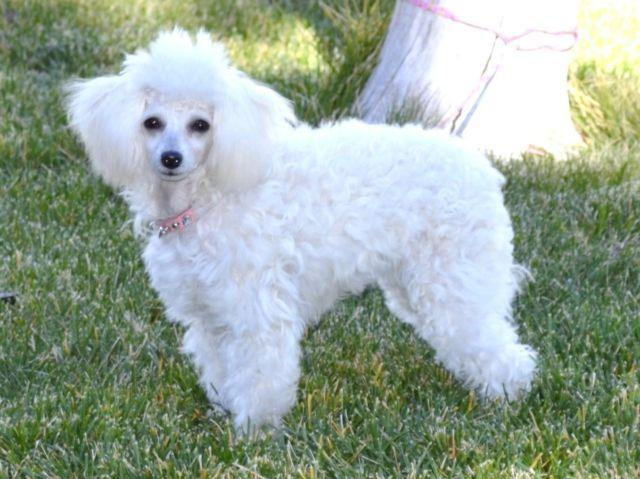 White Female Toy Poodle For Sale In Oregon Classifieds Buy