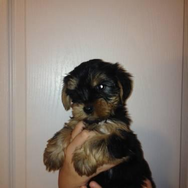 ***BEAUTIFUL*** AKC YORKIE ANGELS