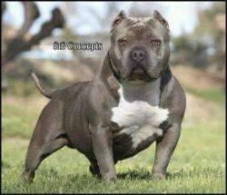 beautiful american bully pups, direct Savage pups