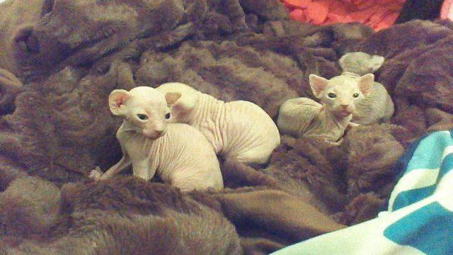 Beautiful and Bald Sphynx Kittens