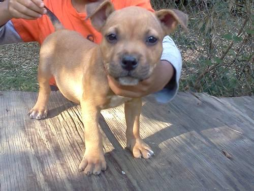 Beautiful APBR redfawn pitbull puppy