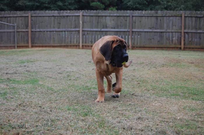 Beautiful Apricot Female English Mastiff Puppy Professionaly Trained