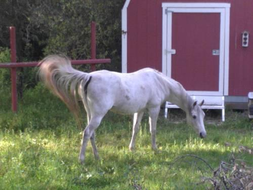 Beautiful Arabian Mare and Arabian/Quarter Gelding