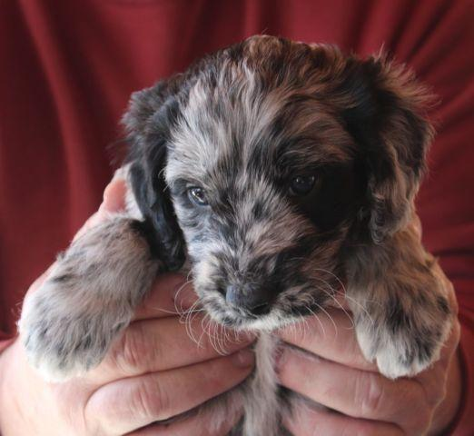 Beautiful Aussie Doodle Puppies for Adoption - 6 Weeks