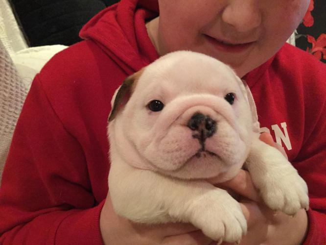 Beautiful Baby Bulldog Puppies 402 387 4600 For Sale In Olean New