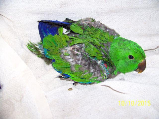Beautiful Baby Male Red Sided Eclectus Parrot,