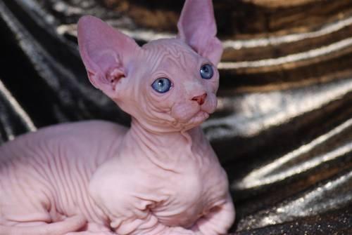 fairy tail cat