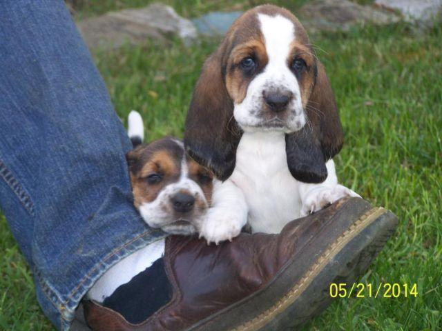 Basset Hound Puppy Free Pets And Animals For Sale In The Usa Puppy