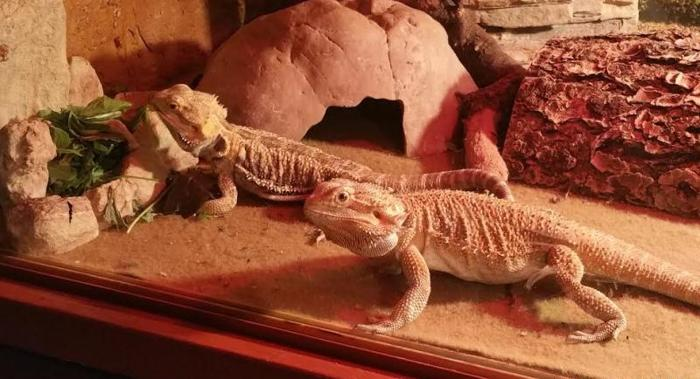 free bearded dragons for adoption san antonio