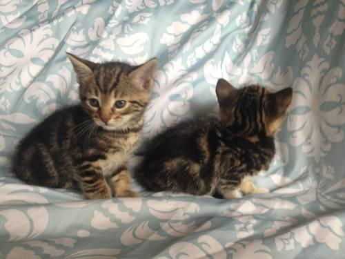 beautiful bengal mix female kittens for sale in cove