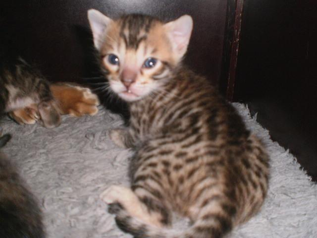 Beautiful Bengal Savannah Kittens Have Arrived Off This