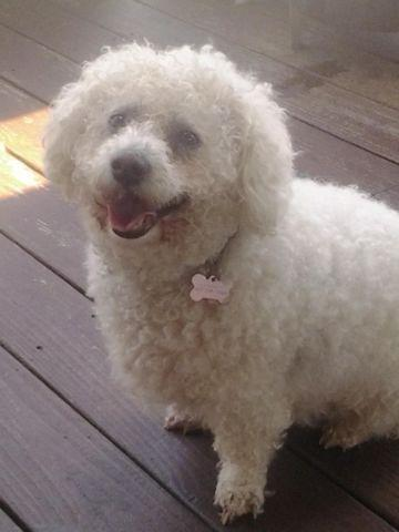 Beautiful Bichon Frise male for adoption - 6 years old