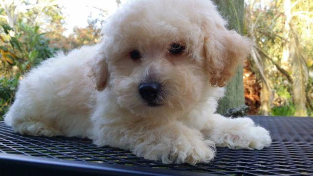 Beautiful Bichon Frise - Poodle cross puppies ready now