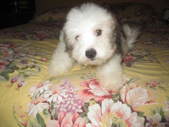 Beautiful Bichon Poo Puppies For Sale For Sale In