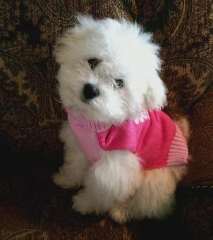Beautiful Bichon Poodle Schnauzer Mix Poochon Chonzer Schnoodle For Sale In Auburn Washington