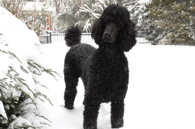 Beautiful Black Akc Standard Poodle In Need Of Home 1 Year