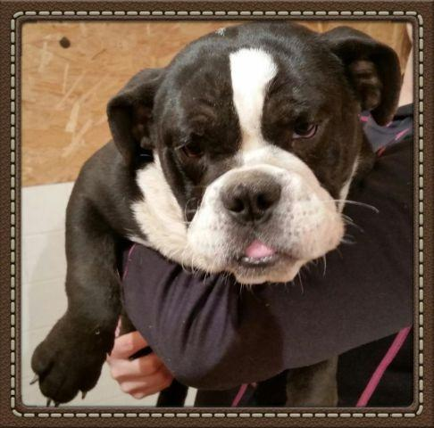 French Bulldog Pets And Animals For Sale In Lanton Missouri Puppy