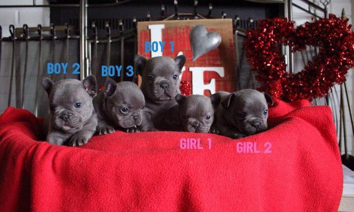 Beautiful Blue French Bulldog Puppies ready for